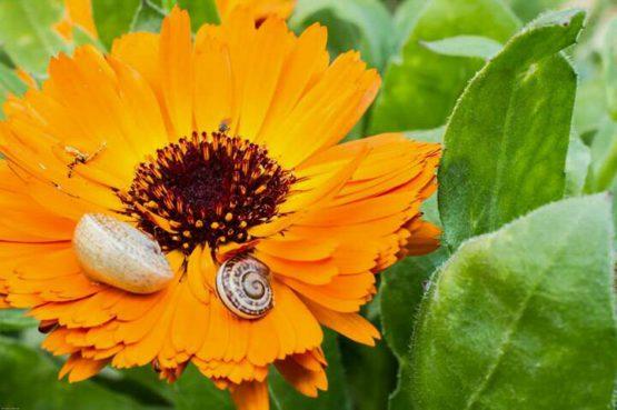 Flor de calendula caracol ibiza
