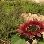 Girasol jardín aromáticas Ibiza